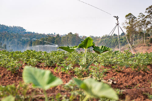 A sprinkler irrigation system in Rwanda rotates among farmers' plots so all the farmers' crops are watered.
