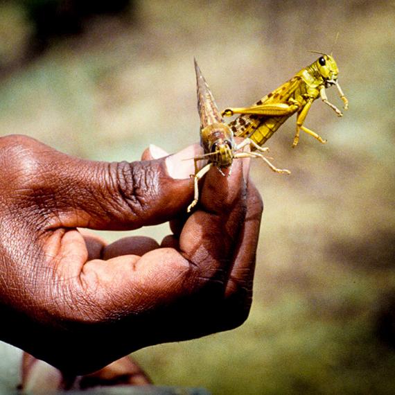 World Vision: Ethiopia Locusts