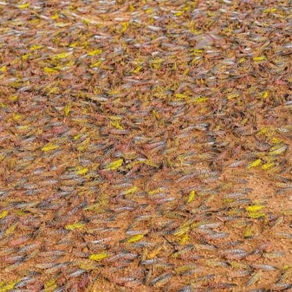 World Vision: Kenya Locusts