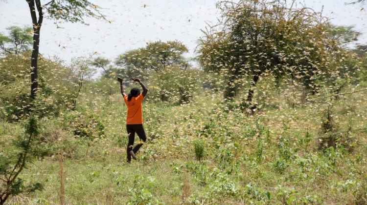 Desert Locusts Swarm East Africa - World Vision Australia