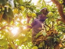 Kamama picks oranges in her family's orchard in Kenya.